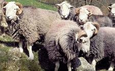 Herwick Sheep